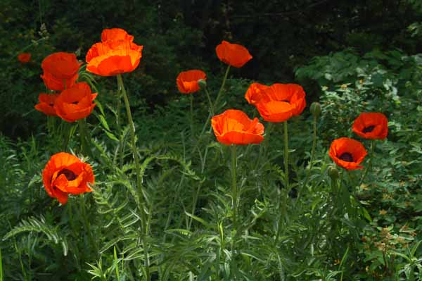 poppies grow wild and in many of the gardens in this area